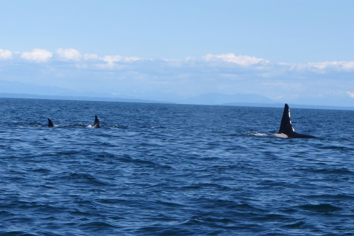 The dorcel fin on the male orca (right) is apparently 6ft high
